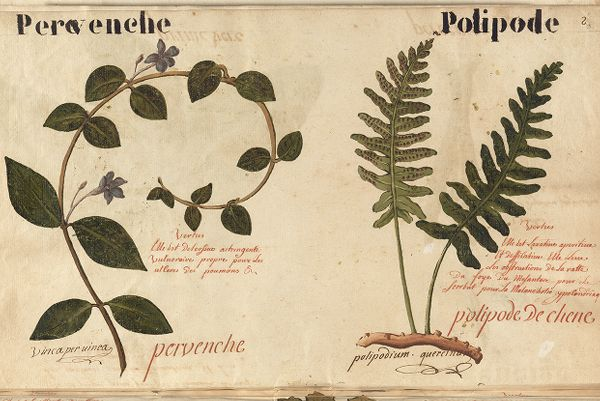 Botanical manuscript of 450 watercolors of flowers and plants