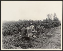 Digging potatoes on Scappoose Drainage district