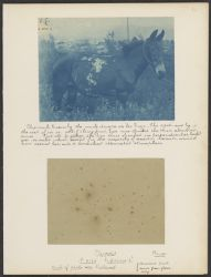 """""""La Vieja-The Aged"""" [and] Pleiades A 2186 Exposure 6 h. Bruce [telescope]. Back of plate was blackened, reversed print made from glass copy."""