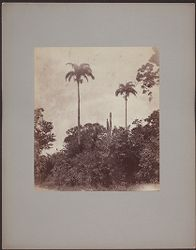 [View of plants and trees, Jamaica?]