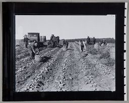 Untitled (Men Working In Potato Field)