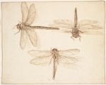 Three Studies of a Dragonfly