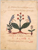Verbascum Plants (Painting With Text, Recto And Verso), Illustrated Folio From A Manuscript Of The De Materia Medica Of Dioscorides