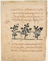 Struchnos Plants (Painting With Text, Recto And Verso), From A De Materia Medica Of Dioscorides