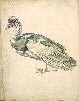 Folio Recto: Blank; Verso: Muscovy Duck