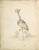 Folio Recto: Blank; Verso: Crane Standing On One Leg Looking Upward