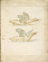 Two Squawking Ducks In The Water; Verso: Blank