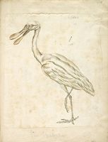 Spoonbill; Verso: Two Birds In Shallow Water