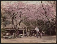 Work 16 of 52 Title: Teahouse and cherry trees in Ueno Park, ... Date: ca. 1890