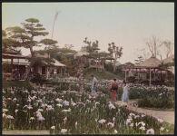 Work 18 of 52 Title: Iris flower [garden] at Horikiri, Tokyo Date: ca. 1890