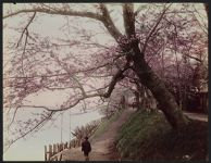 Work 21 of 52 Title: Cherry trees along Sumida River, Tokyo Date: ca. 1890