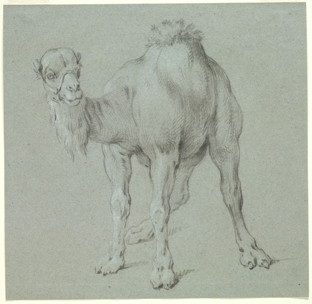 Roughly square in format, the black and white drawing on bluish-gray paper depicts a dromedary in three-quarter view. The animal's head is turned to face the viewer. It wears a bridle, and long tufts of fur hang from its neck and sprout from its hump.