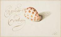 Checkerboard Bonnet Shell (Phalium Areola)