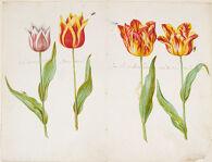 Four Tulips