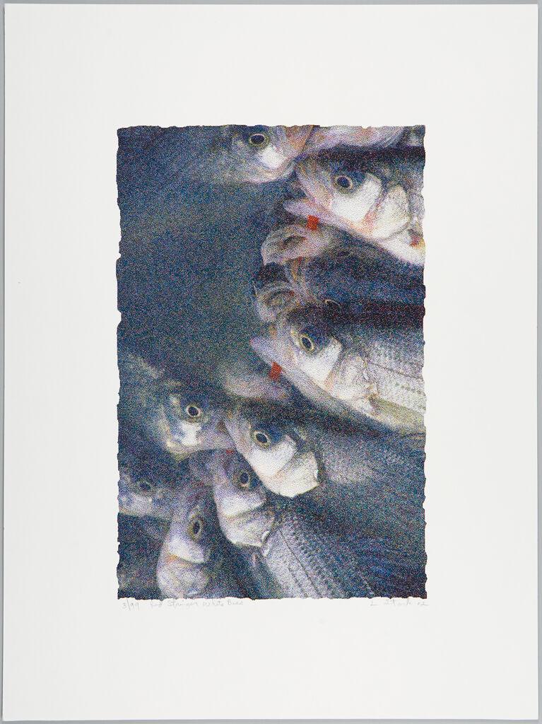 Red Stringer White Bass
