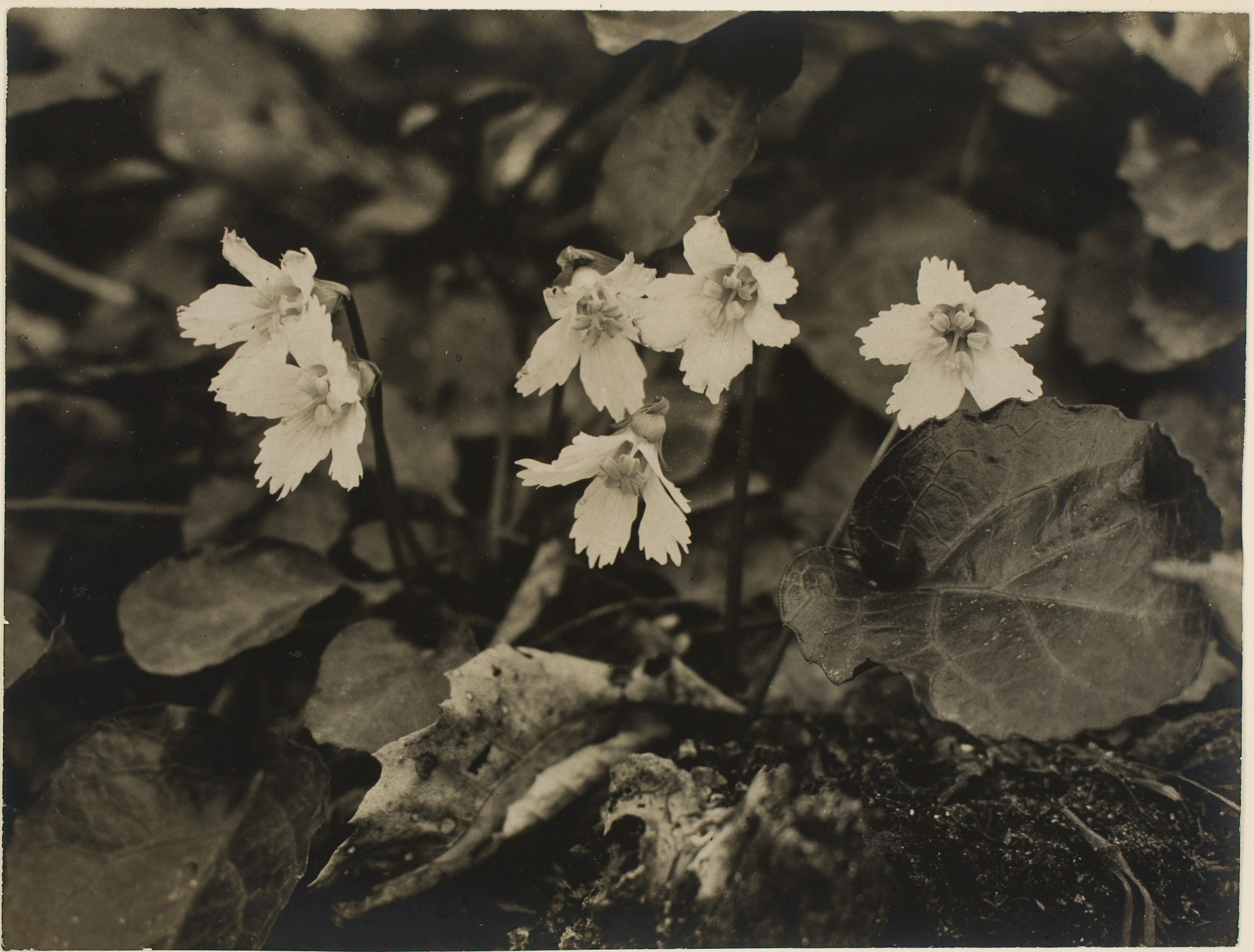 Untitled (Cyclamen, Outdoors)