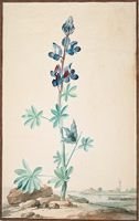 Study Of A Lupine