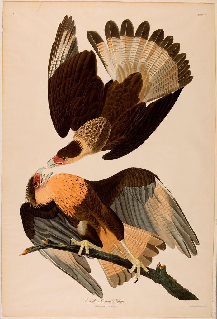 Brazilian Caracara Eagle