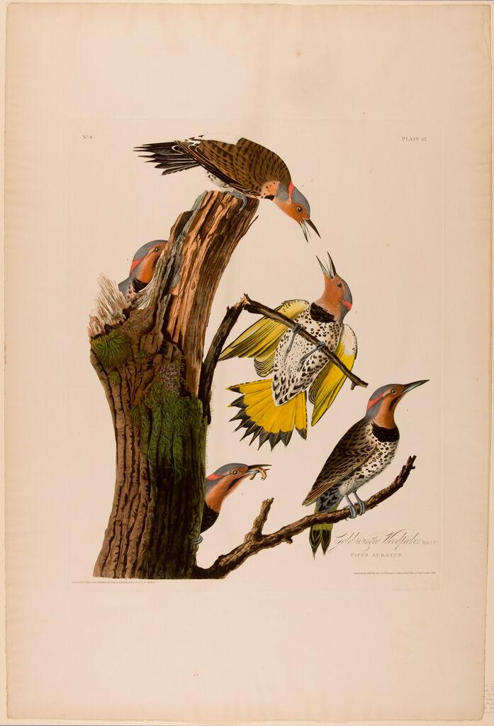 Gold-Winged Woodpecker