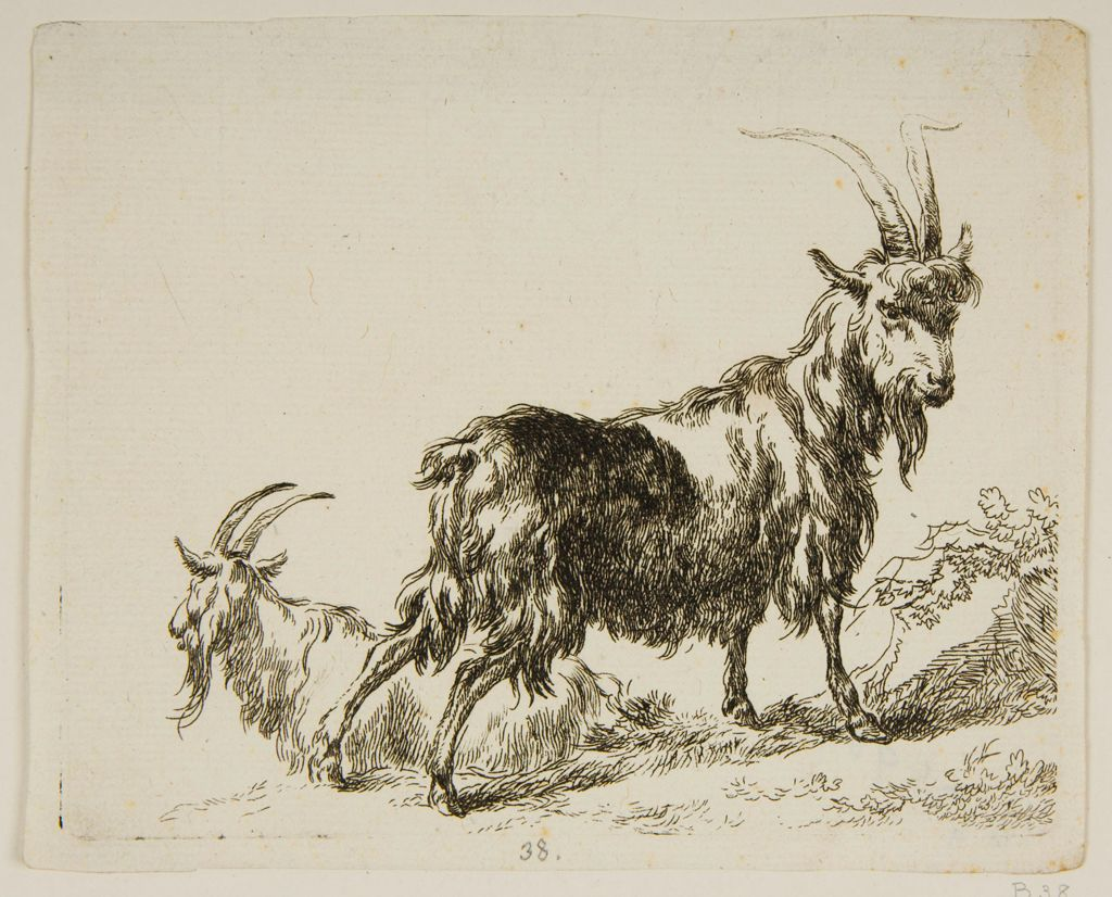 Two Goats, The One Resting In The Background Seen In Profile
