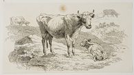 A Cow and Her Calf, and Two Cows Grazing