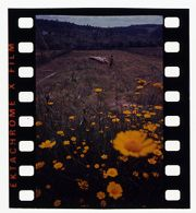 Untitled (shepherd and flock of sheep in field with yellow flowers in foreground)