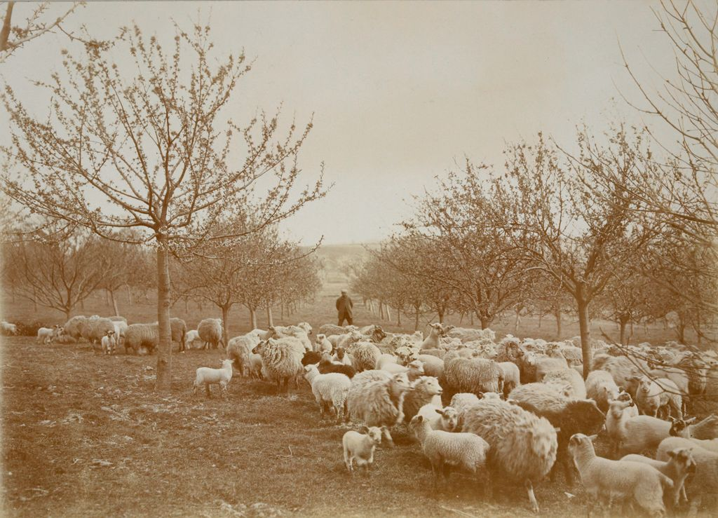 Religious Agencies, Salvation Army: Great Britain, England. Hadleigh. Salvation Army Labor Colony: Salvation Army: Great Britain. Hadleigh Colony: Sheep Pasturing Within The 80 Acre Orchard.