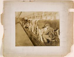 Defectives, Epileptics: United States. Massachusetts. Palmer. State Hospital for Epileptics: Cow barn 1908..   Social Museum Collection