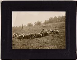Defectives, Epileptics: United States. Massachusetts. Palmer. State Hospital for Epileptics: 1906. Sheep in pasture..   Social Museum Collection