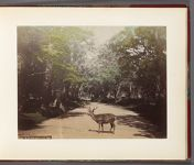 Work 9 of 32 Title: Deer in cedar trees [Cryptomeria japonic... Date: 188-?