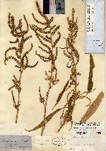 Image of Acnida australis