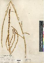 Image of Acnida floridana