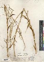 Acnida floridana image
