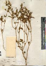 Image of Croton palmeri