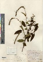 Image of Croton pendens