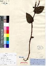 Image of Pogonia macrophylla