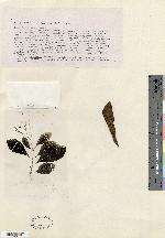 Tournefortia rufo-sericea image