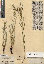 Image of Lithospermum albicans