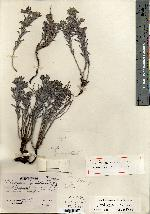 Image of Lithospermum jimulcense