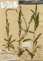 Image of Lithospermum lasiosiphon