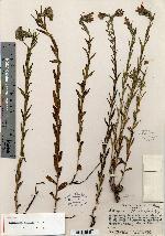 Image of Lithospermum muelleri