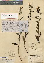 Image of Lithospermum nelsonii