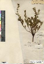 Lithospermum obtusifolium image