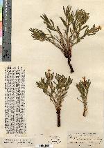 Image of Lithospermum oblongum