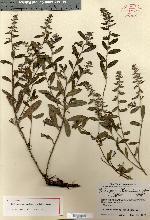 Image of Lithospermum berlandieri