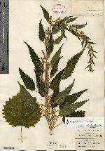 Image of Urtica granulosa