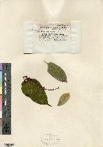 Image of Croton shreveanus