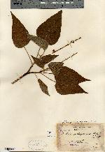 Image of Croton tacanensis