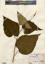 Image of Croton vitifolius