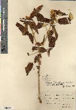 Image of Croton vaillantii